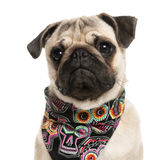 Close-up of a Pug wearing a scarf Royalty Free Stock Image