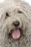 Close-up puli portrait in a white studio. Close-up puli portrait in studio Stock Images