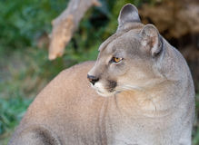 Close up of a puma. Stock Image