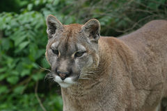 Close up of a Puma. He cougar (Puma concolor), also commonly known as the mountain lion, puma, panther, or catamount, is a large feline of the subfamily Felinae Royalty Free Stock Images