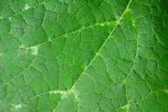 Close up of pumpkin leaf Royalty Free Stock Photos