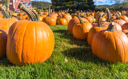 Close up of pumpkins on lawn for a sale Stock Images