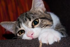 Close-up of a puppy cat playing on the sofa. Foreground a white and striped young cat while he is playing with a thread on a couch royalty free stock photo