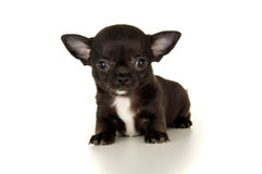 Close-up of a puppy Stock Image