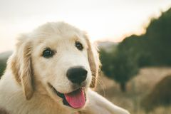 Close up of a puppy dog of the golden retriever breed stock photos