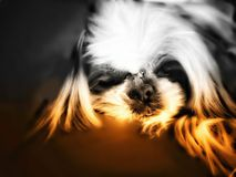 Close up Puppy face is relaxing on a sofa Royalty Free Stock Photo
