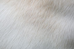 Close up puppy Lab Dog fur textures Stock Images