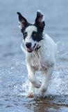 Close up puppy of mongrel running on water. Stock Image