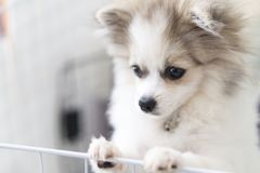 Close up puppy pomeranian waiting owner with sad face, selective. Focus royalty free stock image