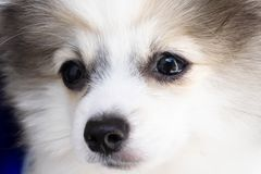 Close up puppy pomeranian waiting owner with sad face, selective focus. Close up puppy pomeranian waiting owner with sad face royalty free stock images