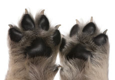 Close-up of puppy's paws, 4 weeks old. In front of white background Royalty Free Stock Images