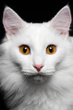 Close-up Pure white cat on the black background. Close-up Pure white cat with red eyes on the black background Stock Photos