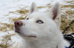 Close up of pure white hasky dog with pink nose. Close up of blue eyed pure white hasky dog with pink nose. Unfocused background Stock Photo