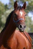Close up of a purebred arabian stallion Royalty Free Stock Photo