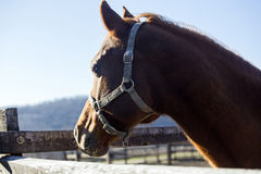 Close-up of a purebred saddle horse in winter corral Royalty Free Stock Photography