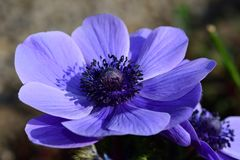 Anemone flower. Close up of a purple anemone flower in bloom royalty free stock photo