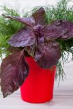 Close up purple basil in red vase. royalty free stock images