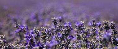 Close-up of purple blooming lavender Stock Photography