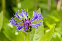 Close up of purple blossom of centaurea montana mountain cornflower. With natural green background. Selective focus. Shallow depth of field Stock Photography