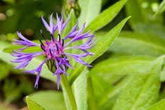 Close up of purple blossom of centaurea montana mountain cornflower with copyspace. Close up of purple blossom of centaurea montana mountain cornflower with Royalty Free Stock Photos