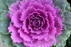 Close up purple cabbage flower in ornamental garden. Royalty Free Stock Photography