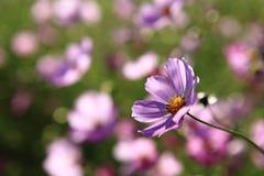 The close-up purple Calliopsis Stock Photos