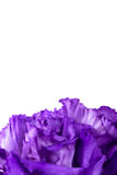 Close-up of purple carnation flower Royalty Free Stock Photography