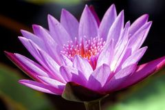 A close-up of purple color water lily flower. A close-up of purple color water lily flower in the pond stock photos