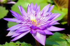 A close-up of purple color water lily flower. A close-up of purple color water lily flower in the pond stock photography