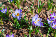 Close-up purple crocuses in garden with bees. Outdoor, spring Royalty Free Stock Photos