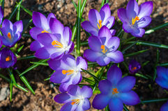 Close-up purple crocuses in garden with young green grass. Outdoor, spring Stock Photo