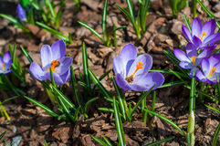 Close-up purple crocuses in garden with young green grass. Outdoor, spring Stock Photos