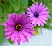 Daisy. Close up of purple daisies Stock Photography
