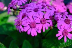 Close Up Purple Daisy Boken Blur Background stock photography