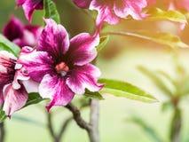 Close up purple desert rose flower Royalty Free Stock Image