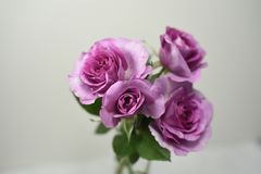 Downton Abbey roses Royalty Free Stock Image