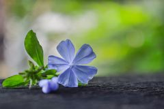 Close up of Purple Flower and Green Leaf on Black Wood, Nature Background stock image