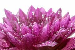 Close up Purple flower petals with dew. Soft focus of Close up Purple flower petals with dew Royalty Free Stock Image