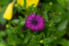 Close up of purple flower with rain drops in soft focus royalty free stock image