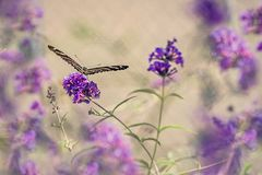 Butterfly and purple flowers. Close up of purple flowers and butterfly with beautiful bokeh for background royalty free stock photos