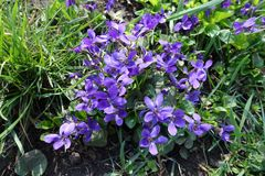 Closeup of purple flowers of dog violets. Close up of purple flowers of dog violets Stock Photography