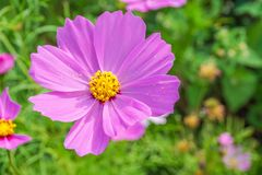 The close up Purple flowers in garden Stock Image
