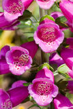 Close up of Purple foxglove Royalty Free Stock Photo