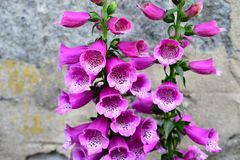 The purple foxglove flower in the garden Royalty Free Stock Image