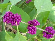 Close up of the fruit of a Beauty Berry plant. Close up of the purple fruit of the Beauty Berry plant royalty free stock photos
