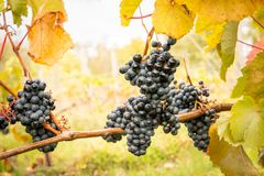 Close up of purple grapes in clusters with autumn leafs, beautiful agriculture view. royalty free stock photography