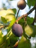 A close up purple growing ripe damson fruit on tree. Essex; England; UK Royalty Free Stock Photos
