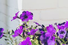 Close-up of purple heartsease flowers against white brick wall. Close-up of purple heartsease flowers against a white brick wall Royalty Free Stock Photography