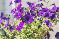 Close-up of purple heartsease flowers against white brick wall. Close-up of purple heartsease flowers against a white brick wall Royalty Free Stock Images
