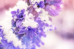 Close up of a purple hyacinth in the snow. Spring concept royalty free stock images